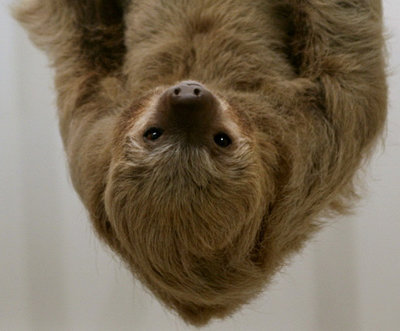 Image: A 3-toed Sloth