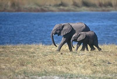 Image: Mother and baby elephants walking by lake