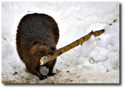 Image: A beaver in snow carrying a stick