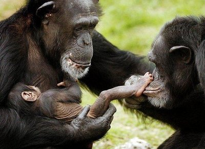 Image: A chimp family