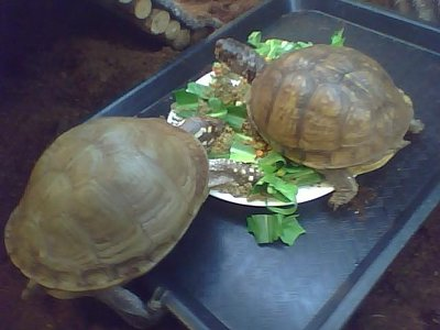 Image: A photo of two tortoises eating lunch