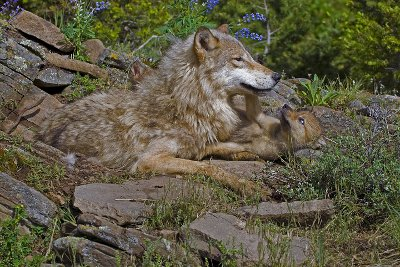 A wolf and her cub.